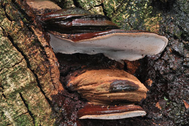 Ganoderma brownii