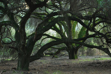 Ancient Coast Live Oaks